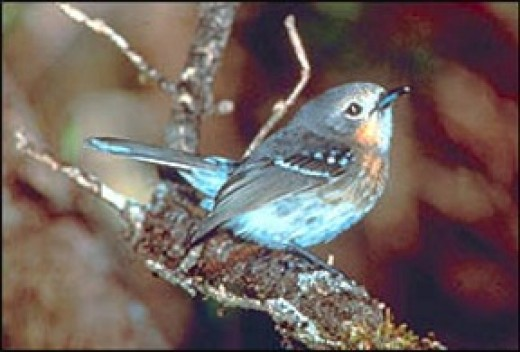 Elepaio - bird in danger of going extinct in Hawaii