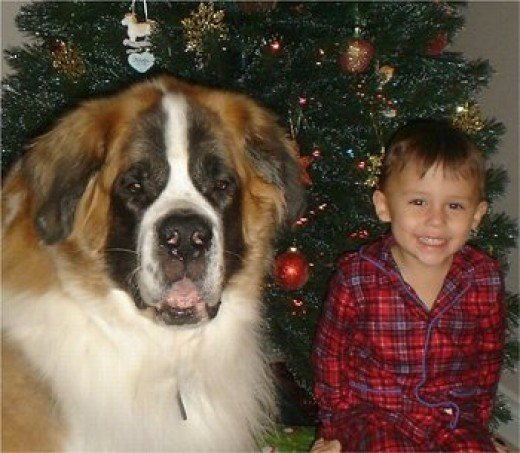 St Bernard with Young Boy at Christmas Time.  Picture from Google Images.