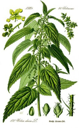 Nettle tea has been used for hundreds of years as a treatment for hair and scalp problems.