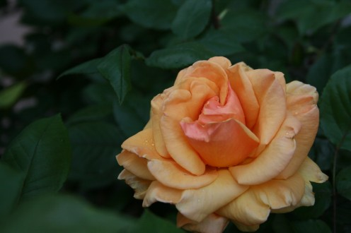 Learn how to draw beautiful roses just like this one! Photo credit: Angela Harris