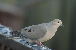 The Mourning Dove-How to Identify Them Through Sight and Sound