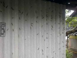 Caterpillars invade mango plantation and homes.