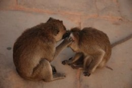 Monkeys picking fleas off each other