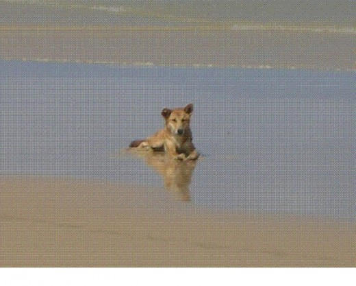 Dingo pup playing on the beach, Fraser Island