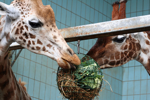 Giraffes having a snack at Twycross Zoo.