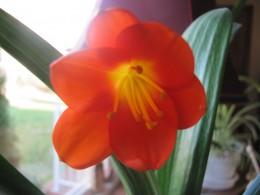 Clivia Baby Plant blossom