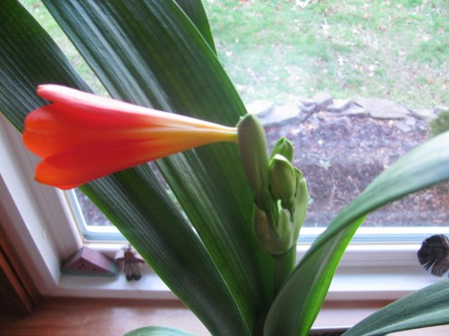 Clivia Baby Plant bud cluster
