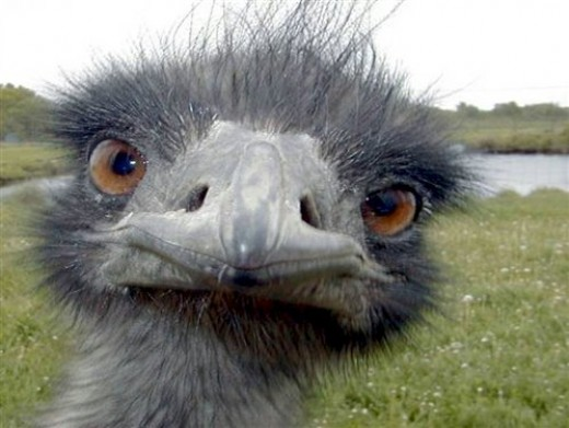 Emus like to look you directly in the eye