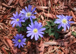 Anemone blooms in shades of purple and blue as well as white.