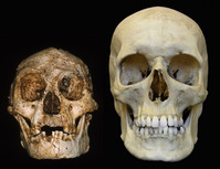Comparison with Human Skull