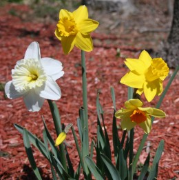 Narcissus are available in a variety of shades and combinations of yellow. Some even have pink trumpets!