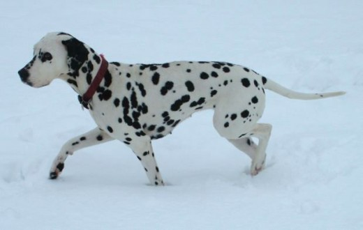 The Dalmatian Dog in Snow Picture