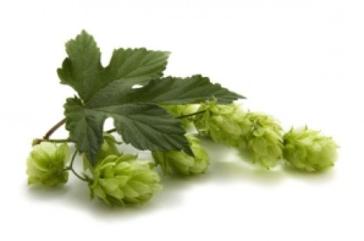 Hops is used to brew beer and comes from the humulus family the same as cannabis and hemp