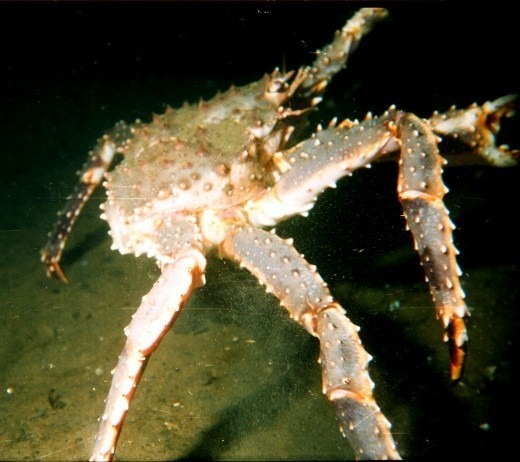 King Crabs On The Move