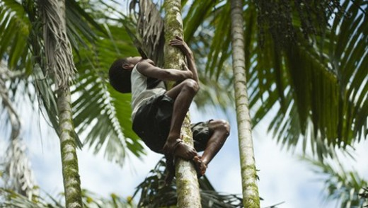 Young Brazilian climbing an acai palm