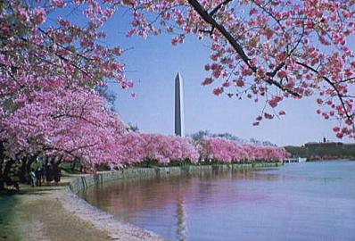 Cherry Blossoms, Washington D.C.