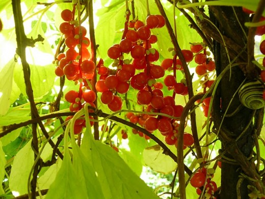 Schizandra fruit - berries