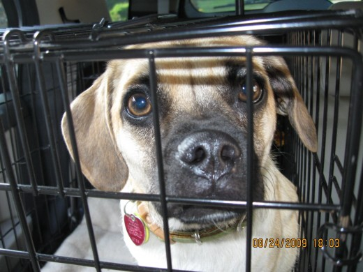 Bella, my puggle, loved her travel crate when she was a puppy.  She loved to travel at every opportunity....road trip!!!