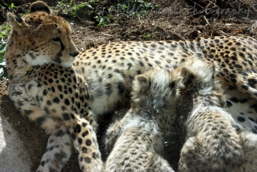 "Mama cheetah indiscreetly ""pulling out"" her nipples to feed her babies in a public zoo."