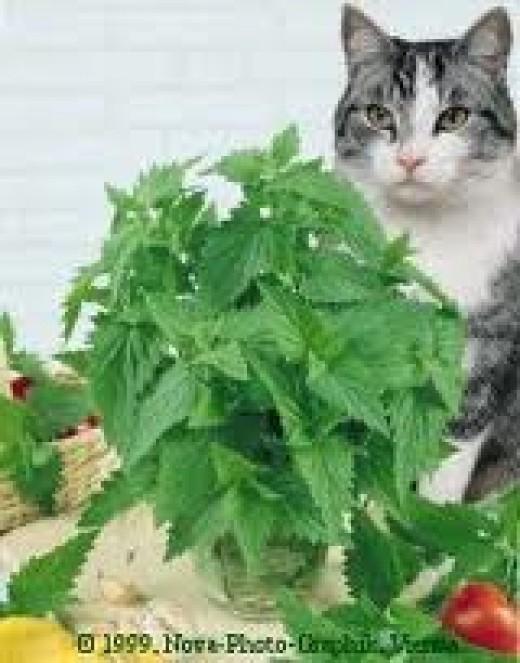 CAT WITH CATNIP PLANT