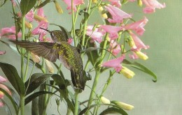 Ruby-throated hummingbird and its preferred tubular plants.