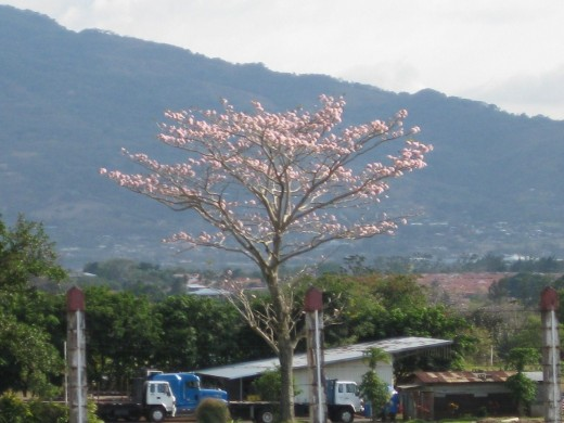 Costa Rica Pink Flowering Tree