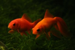 Feeder Goldfish and Aquarium Predators
