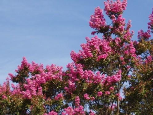Summer flowering tree.