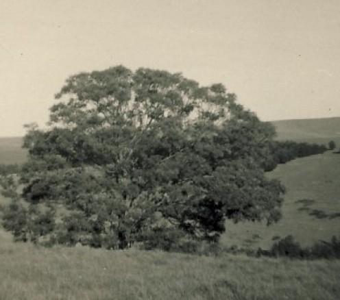 A tree at Blythswood. Taken c 1957
