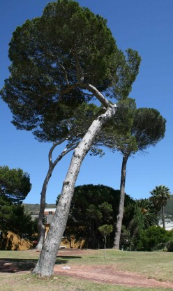 The old pine tree