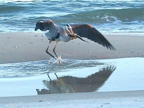 The Great Blue Heron fishing in a tide pool on the beach at St. George Island State park..