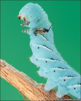 a parasitic wasp on a hornworm