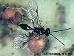 a parasitic wasp laying eggs in an aphid-note the hole from an emerged larva.