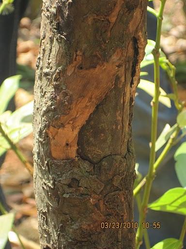 Stem of Cinnamon tree - Dal chini tree stem original photograph