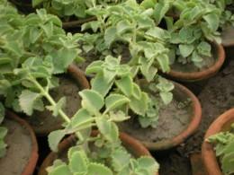Plant of Carum Copticum - Original Ajwain plants