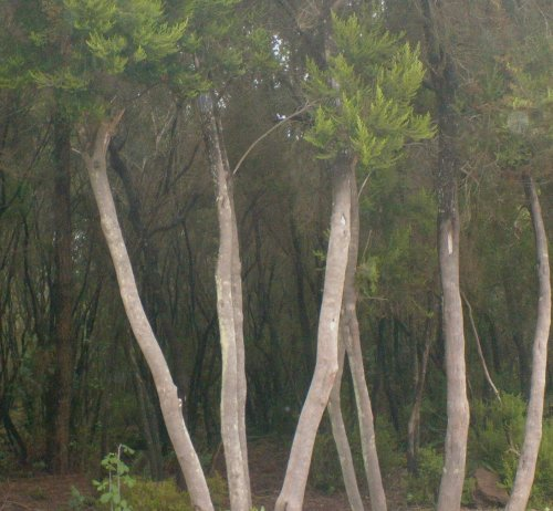 Brezo forest