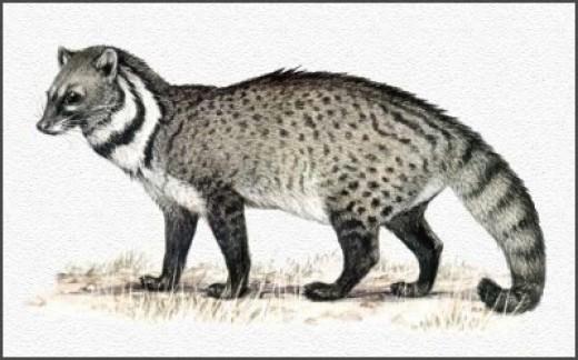 A Civet