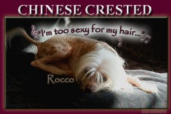Chinese Crested Dogs, the Ugliest Dog in the World of Unique Dog Breeds