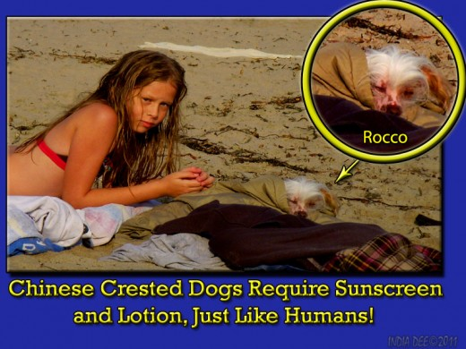 Chinese Crested Dog on the Beach. Being wrapped in a towel protects him from the sun, as the Chinese Crested can sunburn very easily.