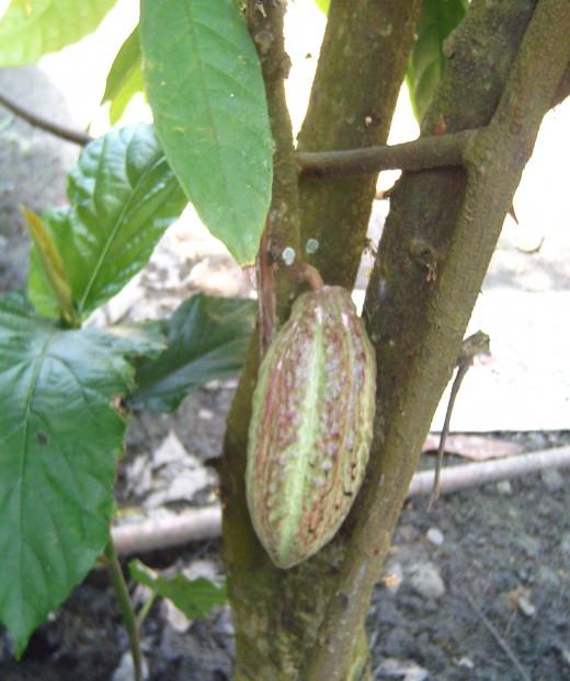 Cacao Pod (Photo by Travel Man)