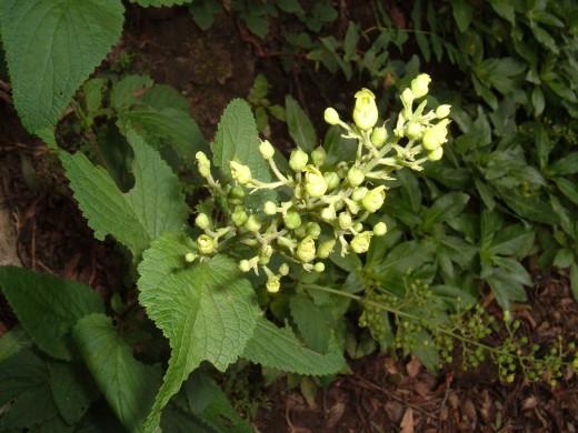 Figwort (Scrophularia smithii)