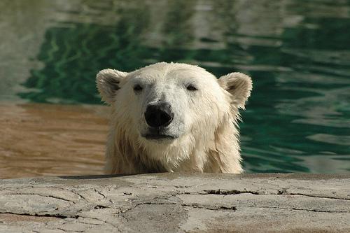 Polar Bear Peering