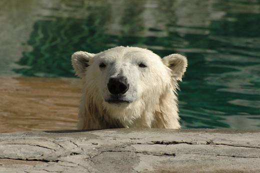 Polar Bear Peering