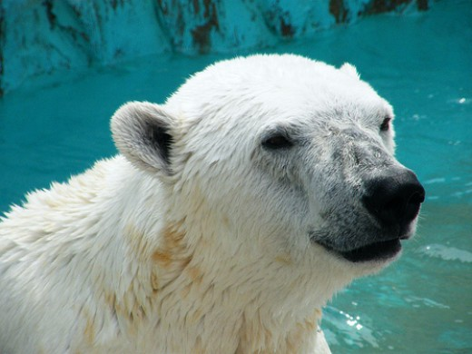 A handsome Polar Bear