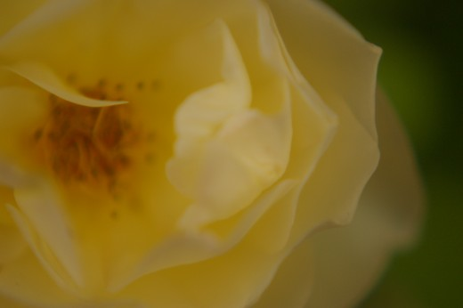 "A picture of a Graham Thomas Rose,( I named this rose ""Lemon Chiffon""), very hardy, but seems to be prone to aphids!"