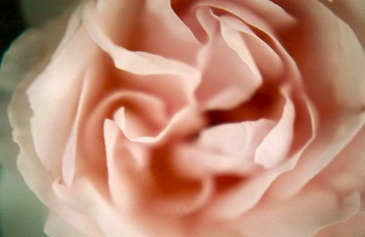"This is my ""ballerina rose""; she looks as beautiful and delicate as a ballerina and is every bit as resilient."