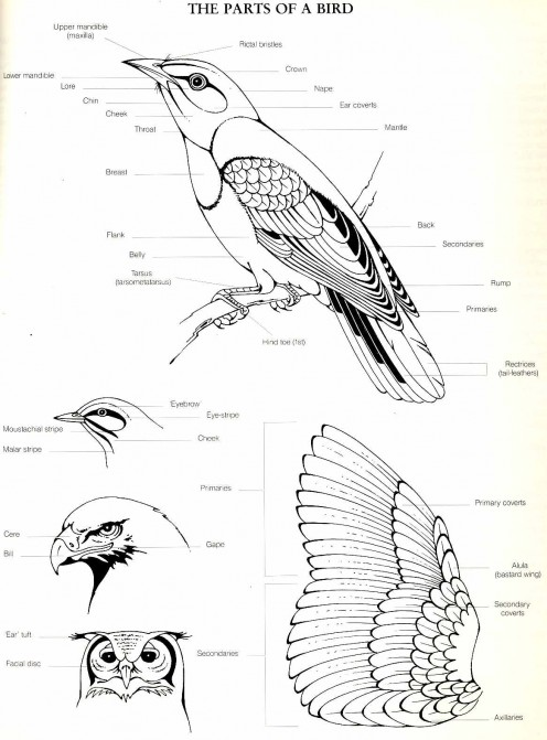 "Diagram from ""The Complete Book of Southern African Birds"""