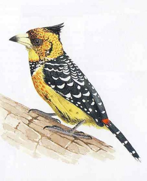 "Crested Barbet. From Kenneth Newman's ""Birds of Southern Africa"""