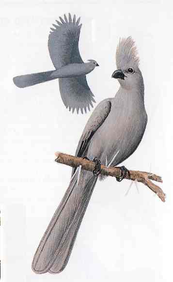 """Grey Lourie the """"Go Away"""" bird. From Kenneth Newman's """"Birds of Southern Africa"""""""