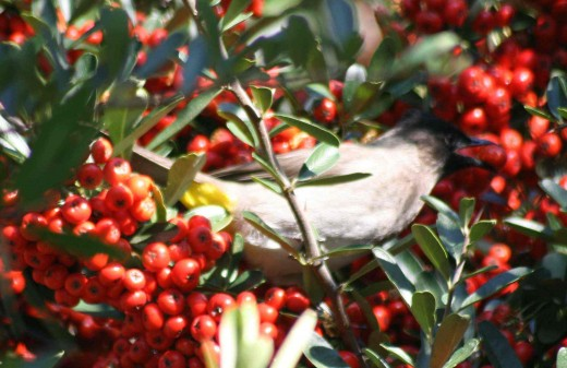 A black-eyed Bulul hiding away in the leaves as he takes a mouthful of berry.